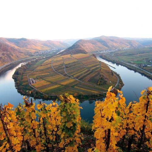 Moselschleife im Spätherbst mit goldfarbenen Weinreben im Vordergrund